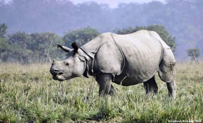 Kaziranga National Park, Kaziranga Animals, Kaziranga Rhinos, Kaziranga Tigers, Kaziranga