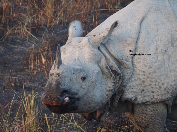 Indian Rhinoceros, Kaziranga National Park, Kaziranga Rhino, Awesome Assam Tourism