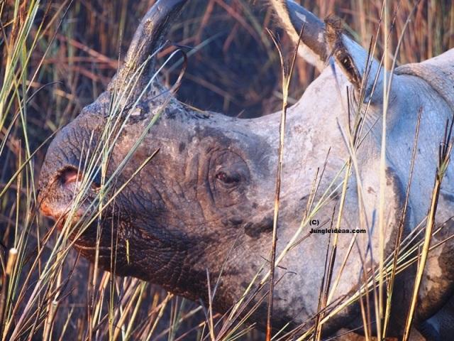 Indian Rhinoceros, Kaziranga National Park, Kaziranga Rhino, Awesome Assam Tourism